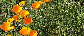 california poppies background